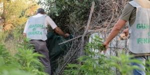 Scoperta una piantagione di canapa indiana tra Barletta e Canosa: quattro arresti